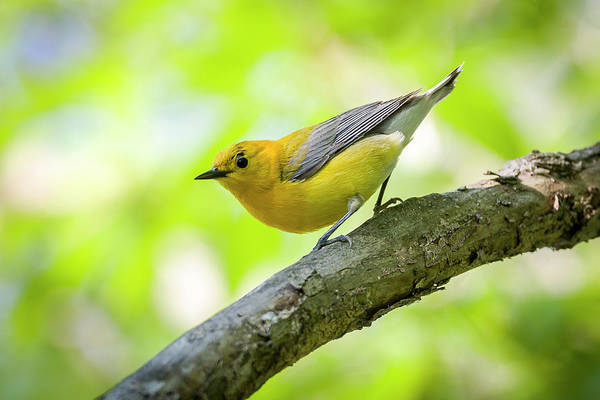 Photograph - Prothonotary Warbleer - Magee Marsh , Ohio by Jack R Perry