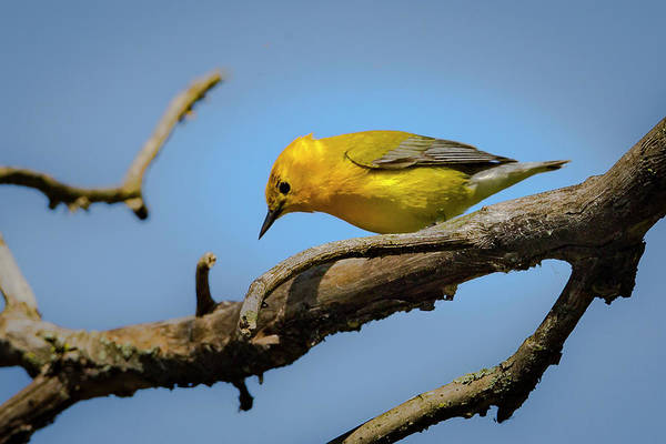 Photograph - Prothonotary Warbleer - Magee Marsh  by Jack R Perry