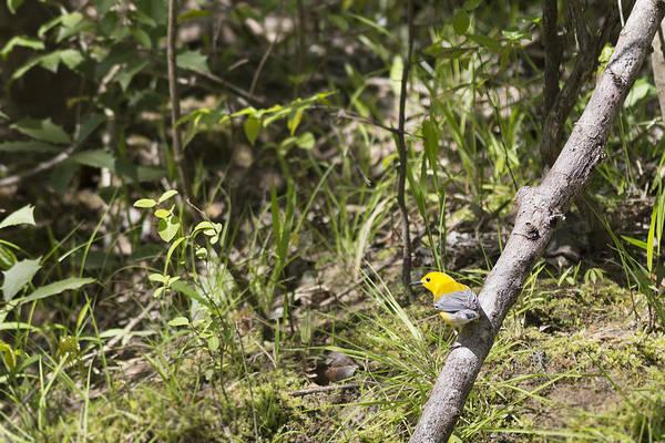 Photograph - Prothonotary Warbler On Namozine Creek by Jemmy Archer