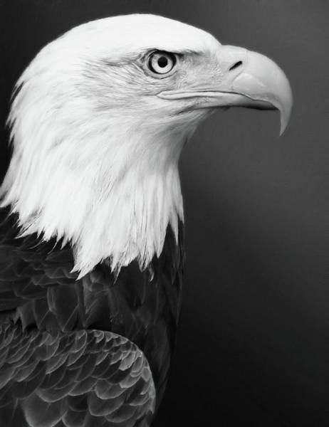 Photograph - Proud Bald Eagle Black And White by Isabella Howard