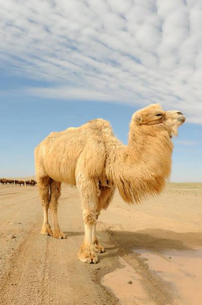 Desert Rose Photograph - Proud Camel by Jessica Rose
