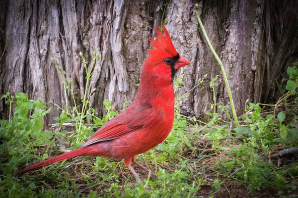 Photograph - Proud Cardinal by John Benedict