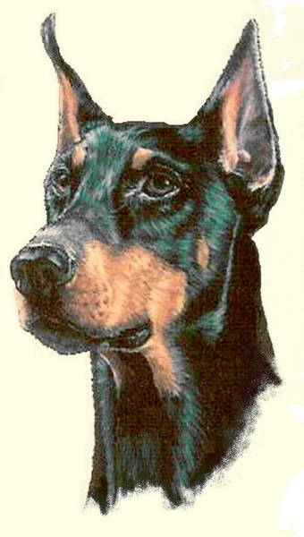 Drawing - Proud Doberman In Colored Pencil by Barbara Keith