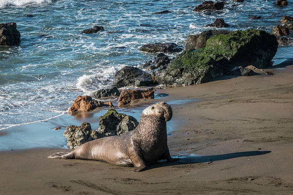 Photograph - Proud Elephant Seal On Beach by Patti Deters