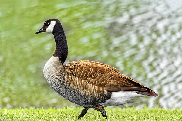 Photograph - Proud Goose by Kay Brewer