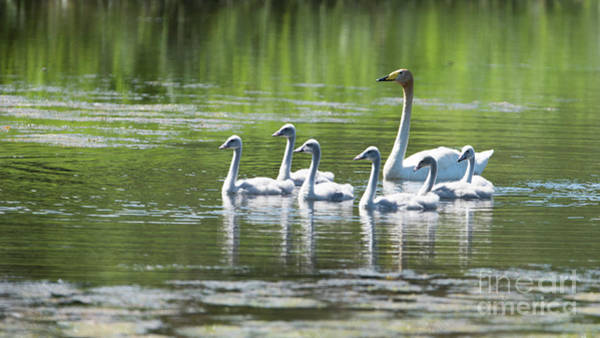 Swan Neck Photograph - Proud Mother by Torbjorn Swenelius
