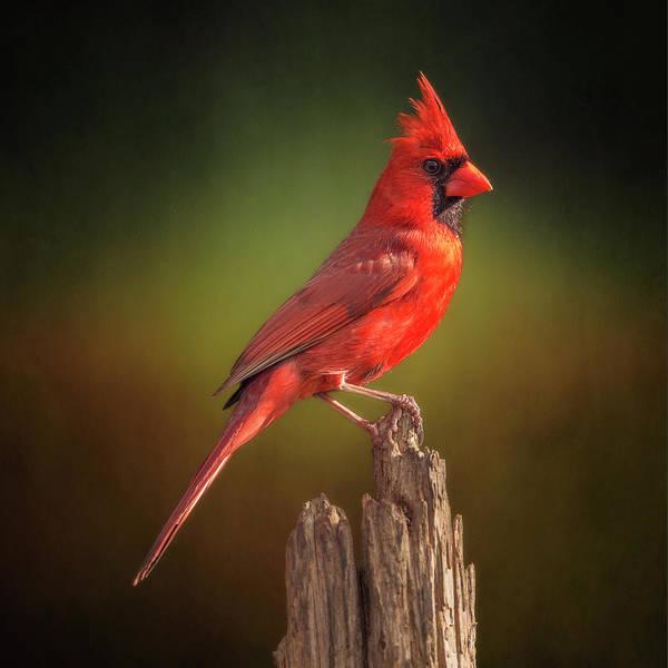 Wall Art - Photograph - Proud Mr. Redbird by Bill Tiepelman