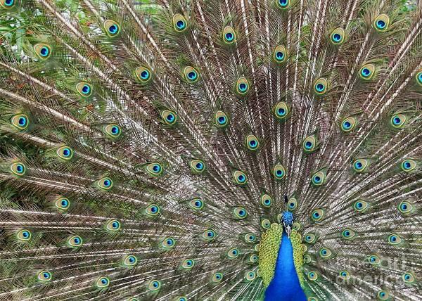 Photograph - Proud Peacock by Sabrina L Ryan