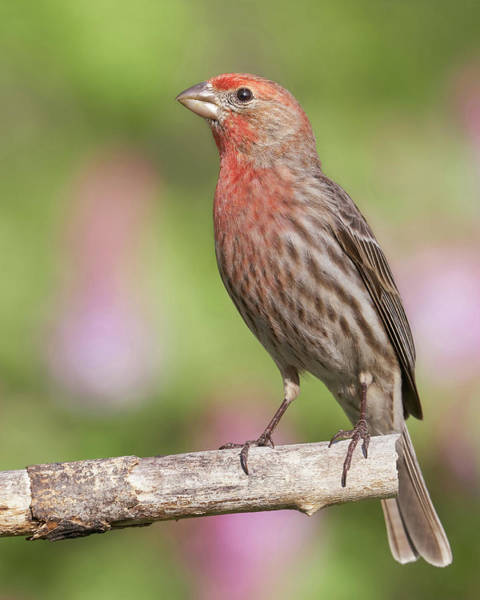 Bird House Photograph - Proud To Be A House Finch by Jim Hughes
