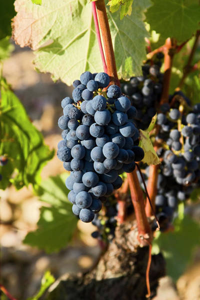 Chateauneuf Photograph - Provence Wine Grapes by Sally Weigand