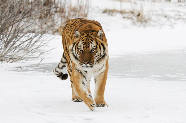 Photograph - Prowling Tiger by Scott Read