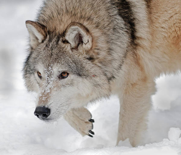 Photograph - Prowling Wolf by Scott Read