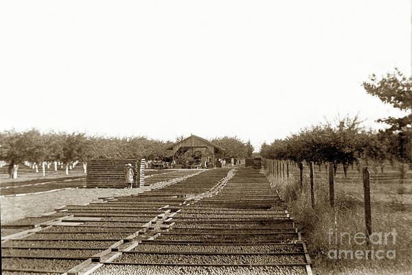 Photograph - Prune Drying Yard, Near Gilroy  In, Santa Clara County, California ,1898, by California Views Archives Mr Pat Hathaway Archives