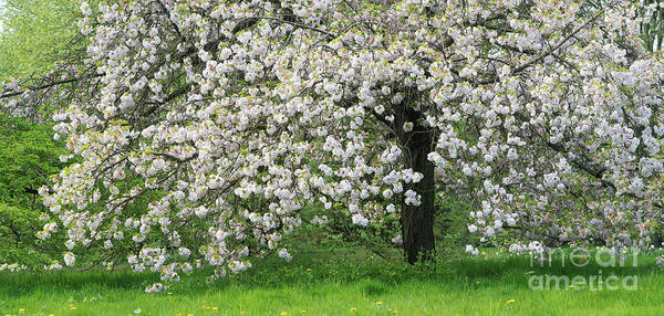 Rosaceae Wall Art - Photograph - Prunus Choshu Hizakura  by Tim Gainey