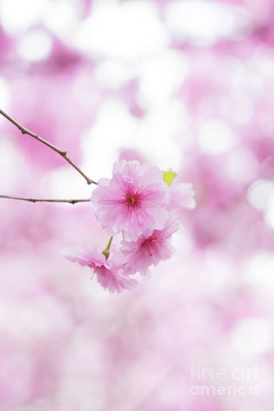 Wall Art - Photograph - Prunus Pink Ballerina by Tim Gainey