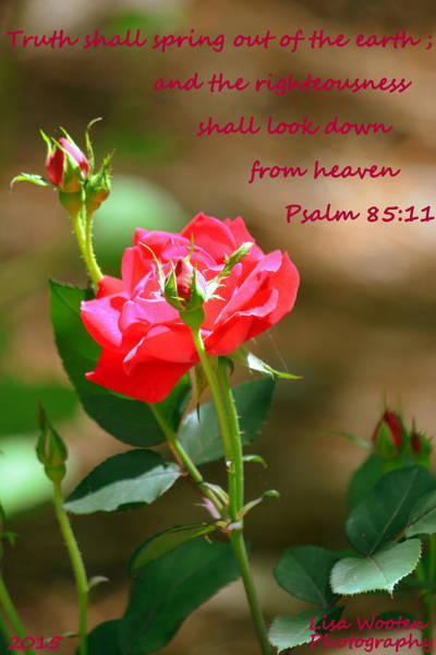 Wall Art - Photograph - Psalm 85 11 Rose by Lisa Wooten