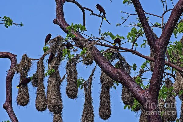 Cahuita Photograph - Psarocolius Decumanus Nesting by Ulysse Pixel