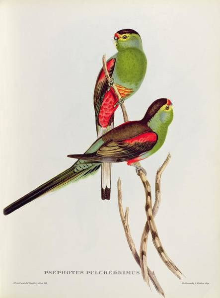 Extinct Wall Art - Painting - Psephotus Pulcherrimus by John Gould