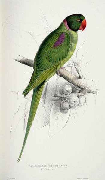 Green Parrot Drawing -  Psittacula Eupatria-palaeornis Cucullatus Hooded Parrakeet by Edward Lear