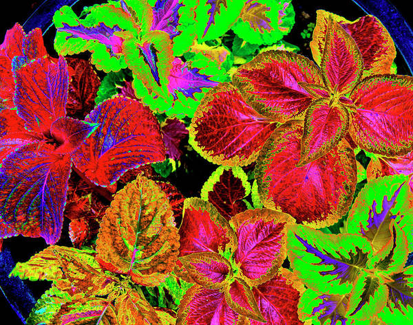 Wall Art - Photograph - Psychedelic Coleus - 38 by Paul W Faust - Impressions of Light