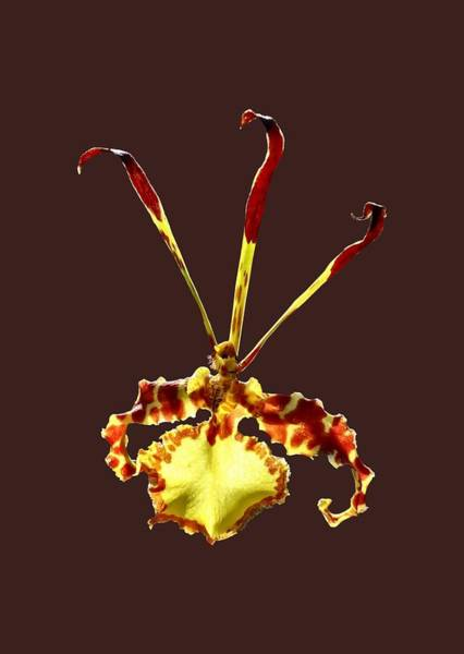 Photograph - Psychopsis Mendenhall Hildos Orchid by Susan Savad