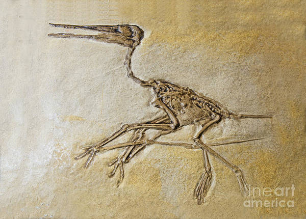 Photograph - Pterosaur Fossil by Millard H. Sharp