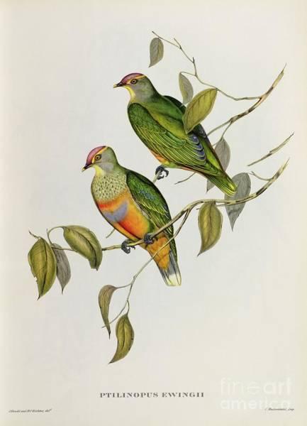 Lovebirds Painting - Ptilinopus Ewingii by John Gould