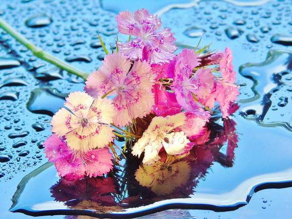 Photograph - Puddle Of Sweet Williams by Barbara St Jean