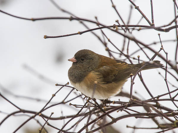 Dark Eyed Junco Photograph - Puffed Up Junco by Jean Noren