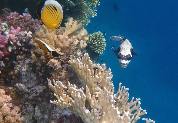 Greetingcards Photograph - Pufferfish And Butterflyfish by Johanna Hurmerinta