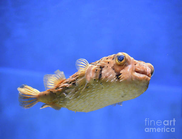 Balloonfish Photograph - Pufferfish With It's Quills Close To It's Body by DejaVu Designs