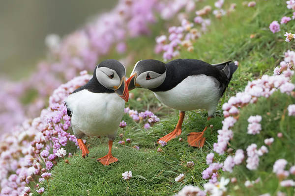 Photograph - Puffin Affection by Peter Walkden