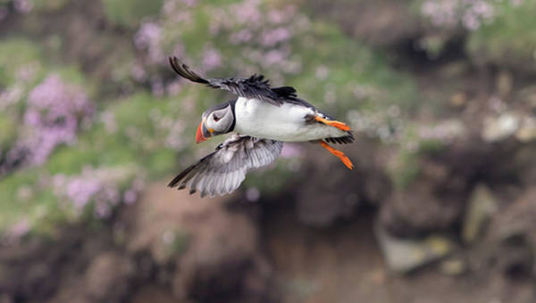 Photograph - Puffin Banking by Peter Walkden