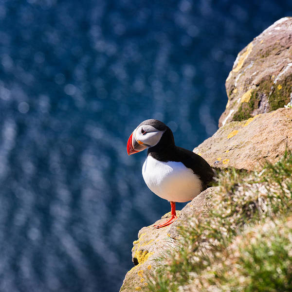 Photograph - Puffin Bird In Iceland by Matthias Hauser