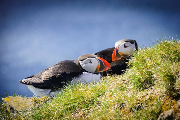 Photograph - Puffin Couple In Love In Iceland by Matthias Hauser