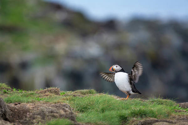 Photograph - Puffin Dance by Tracy Munson