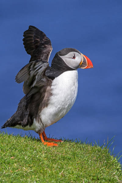 Photograph - Puffin Flapping Wings by Arterra Picture Library