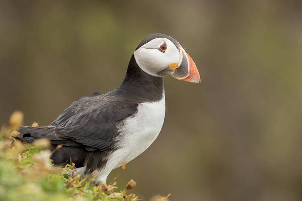 Puffins Wall Art - Photograph - Puffin by Ian Hufton