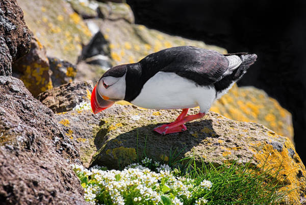 Photograph - Puffin In Iceland Checking The Cave by Matthias Hauser