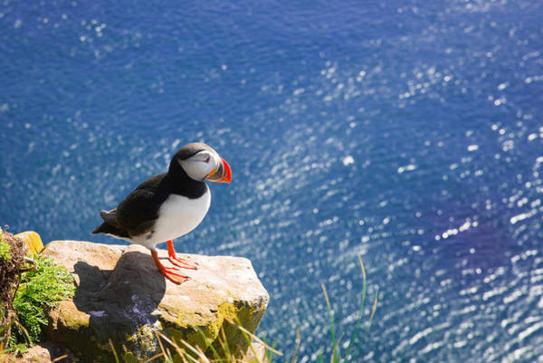 Photograph - Puffin In Iceland - King Of The Hill by Matthias Hauser