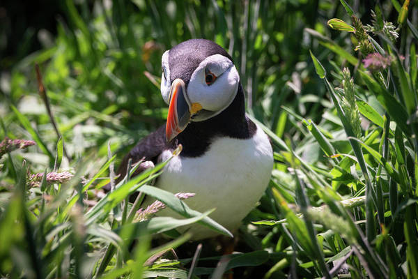 Photograph - Puffin In Tall Grass by Framing Places