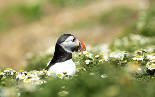 Photograph - Puffin In The Meadows by Framing Places