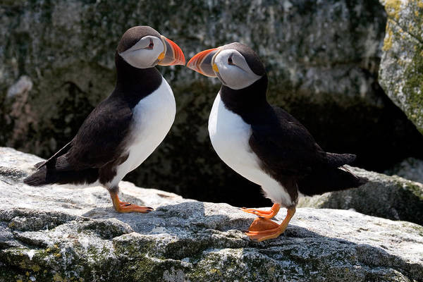 Wall Art - Photograph - Puffin Love by Brent L Ander
