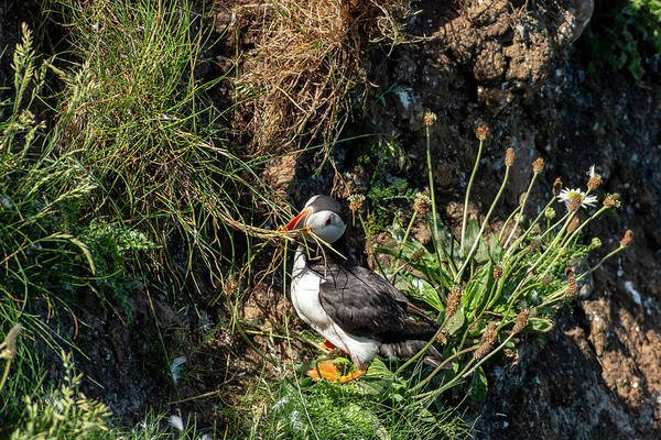Photograph - Puffin On Cliff Edge by Cliff Norton