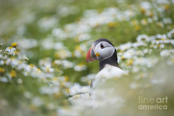 Wall Art - Photograph - Puffin by Tim Gainey
