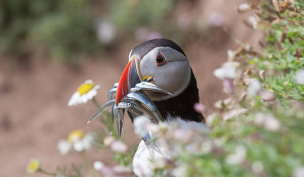 Photograph - Puffin With Sand Eels by Peter Walkden