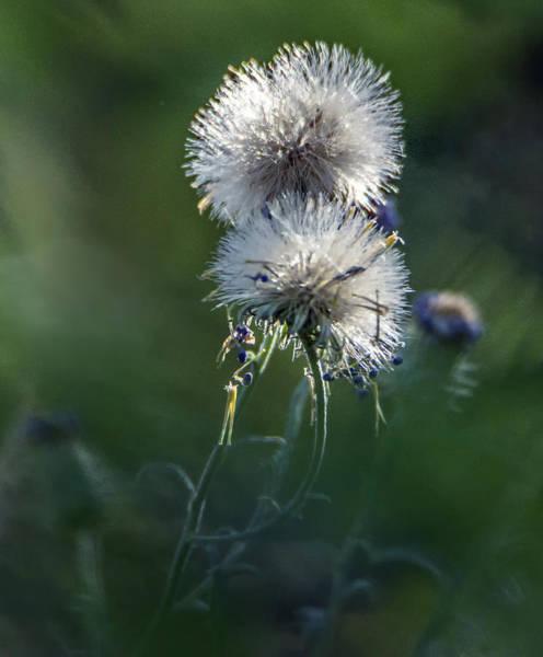 Photograph - Puffs 1664-111417-1cr by Tam Ryan