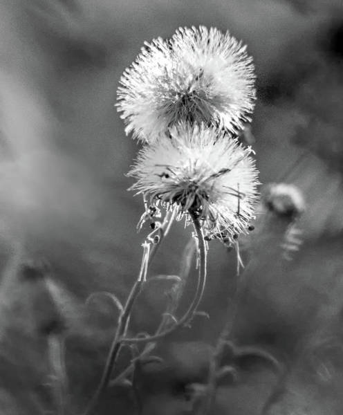 Photograph - Puffs 1664-111417-2cr-bw by Tam Ryan