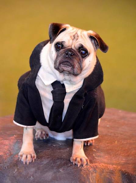 Wall Art - Photograph - Pug As Frank From Men In Black by Richard Bryce and Family