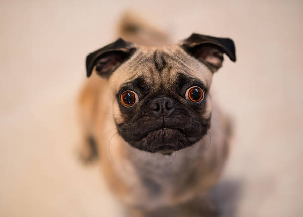 Pug Photograph - Pug Dog by Laura Fasulo